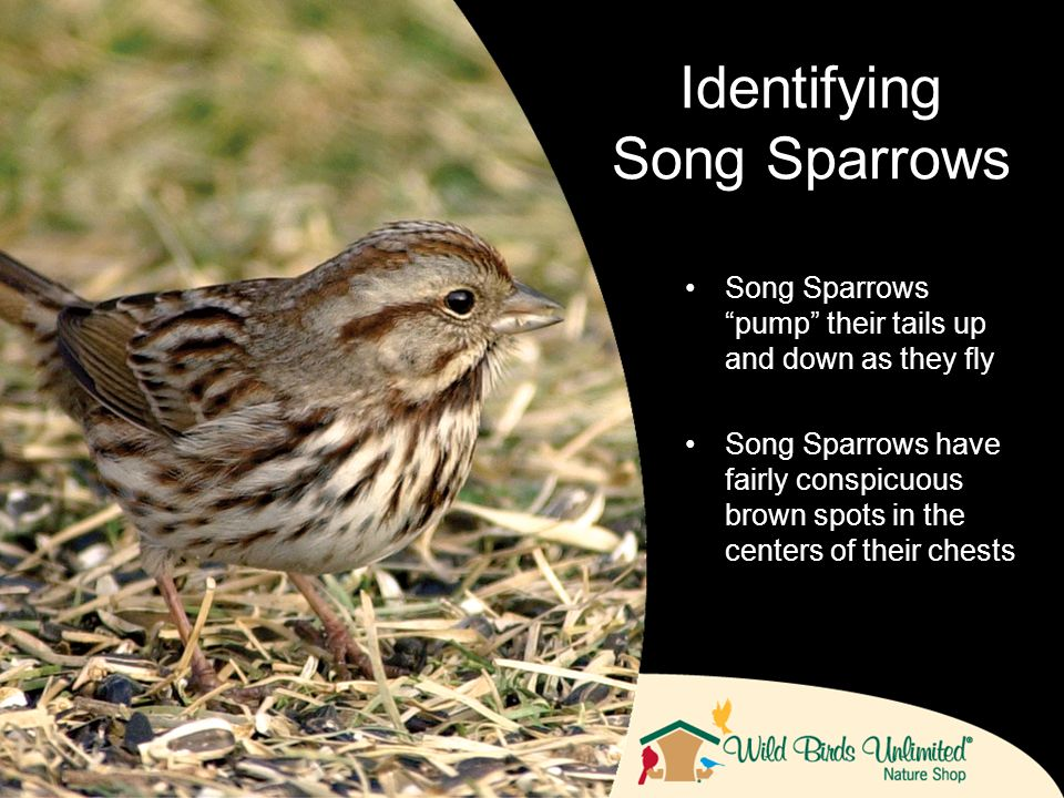 Song Sparrows: The Little Birds Behind the - ppt download