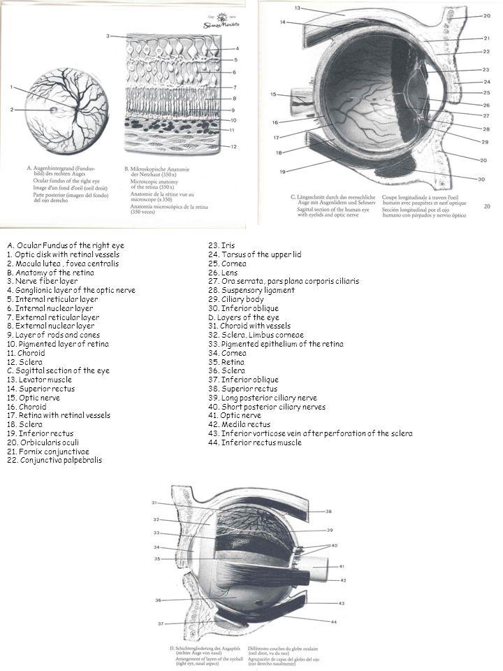 Ziemlich Radialnerv Anatomie Ppt Galerie - Anatomie Von Menschlichen ...