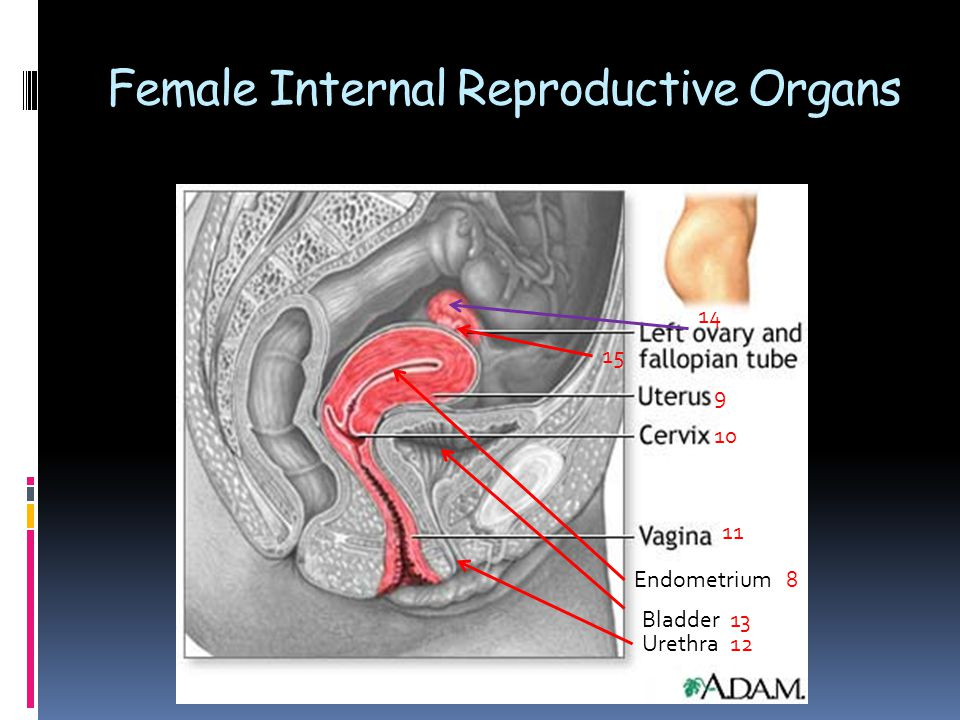 Female Reproductive Organs Ppt Video Online Download