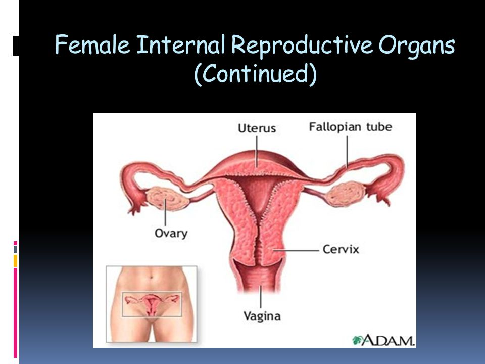 Female Reproductive Organs - ppt video online download