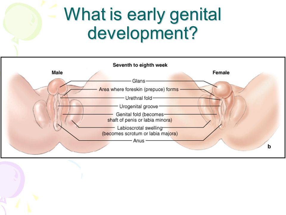What is early genital development