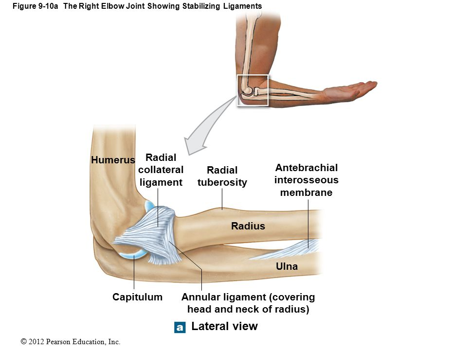 Unique Radial Collateral Ligament Elbow Gift - Anatomy And ...