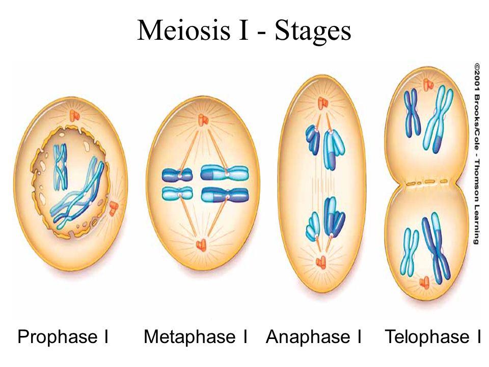 Genetics Of Mammalian Meiosis