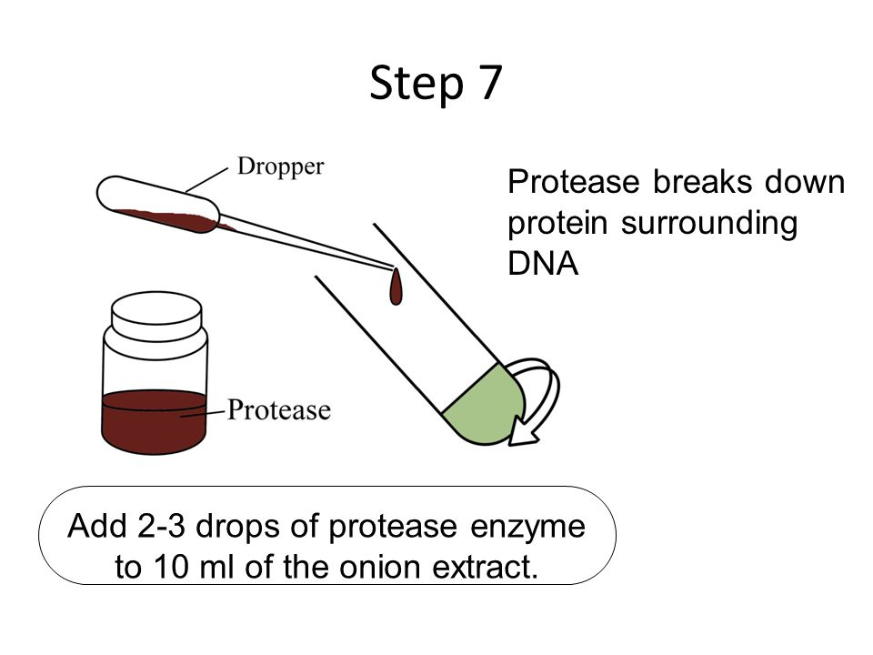 how to extract dna from onion