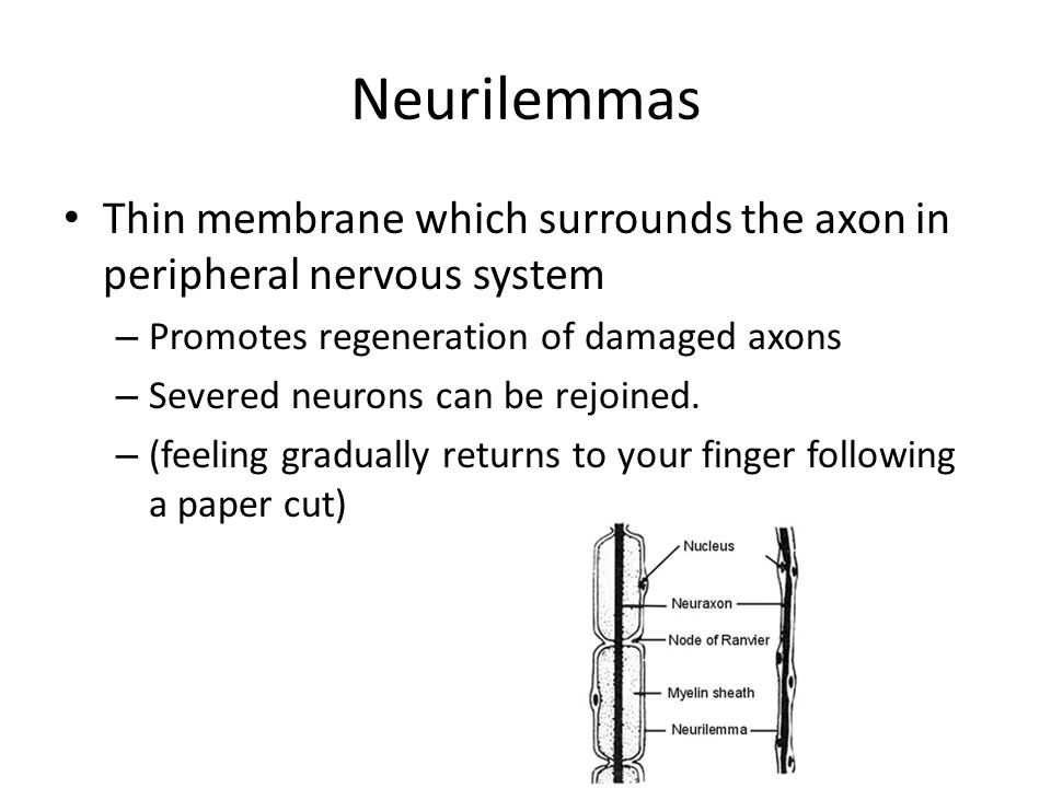 Neurilemmas Thin membrane which surrounds the axon in peripheral nervous system. Promotes regeneration of damaged axons.