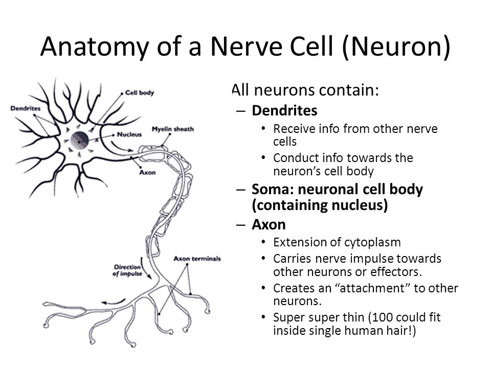 How Nerve Signals Maintain Homeostasis - ppt video online download