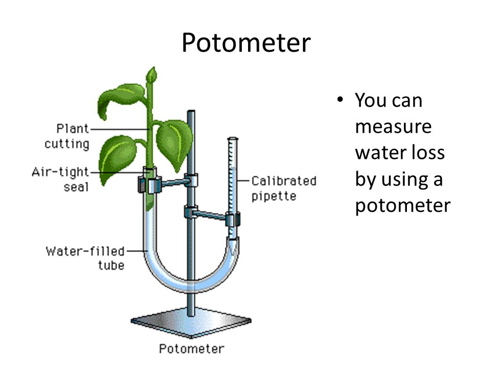 Potometer You can measure water loss by using a potometer