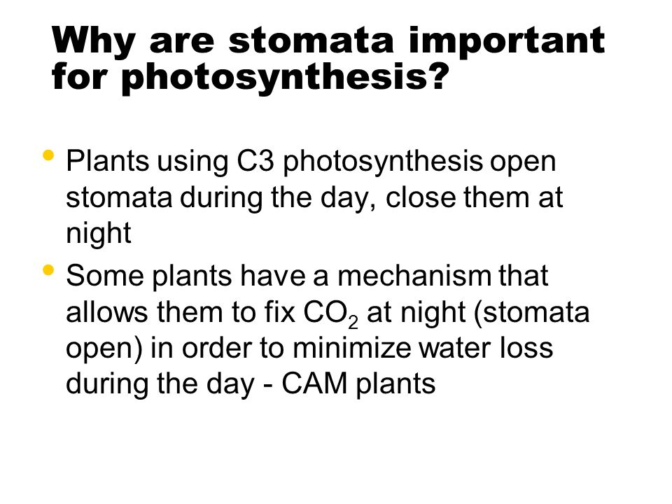 Why are stomata important for photosynthesis