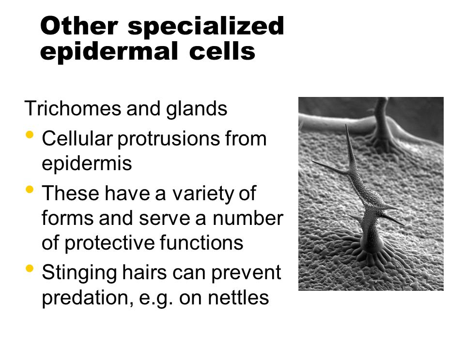 Other specialized epidermal cells