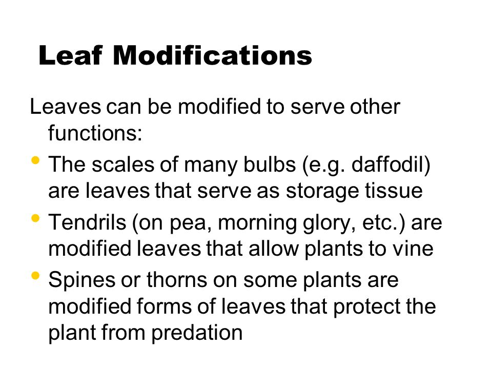 Leaf Modifications Leaves can be modified to serve other functions: