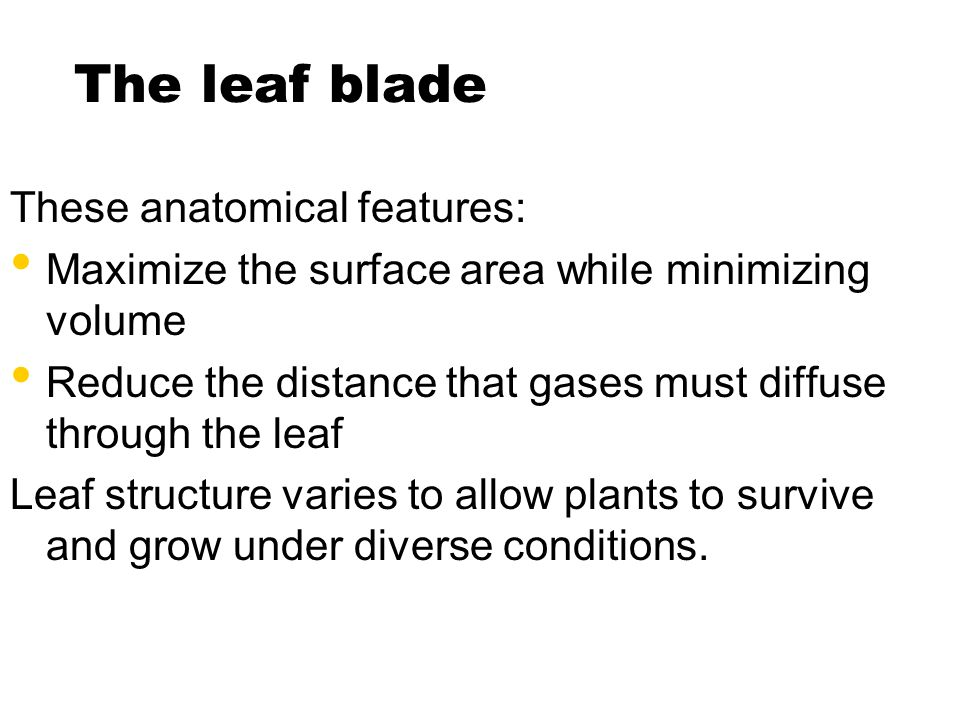 The leaf blade These anatomical features: