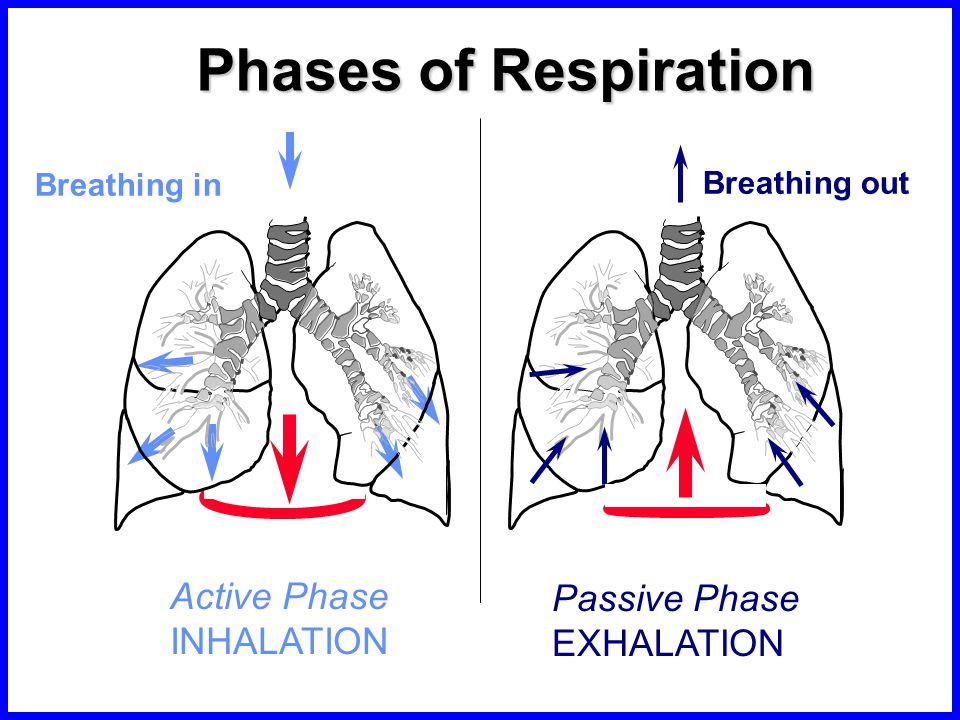 phases of respiration