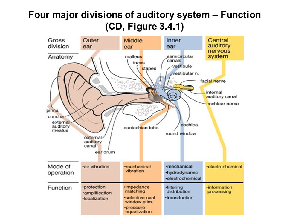 S 319 < Auditory system > - ppt download