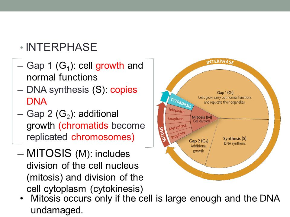 Interphase mitosis cytokinesis ppt video online download interphase gap 1 g1 cell growth and normal functions dna synthesis ccuart Image collections