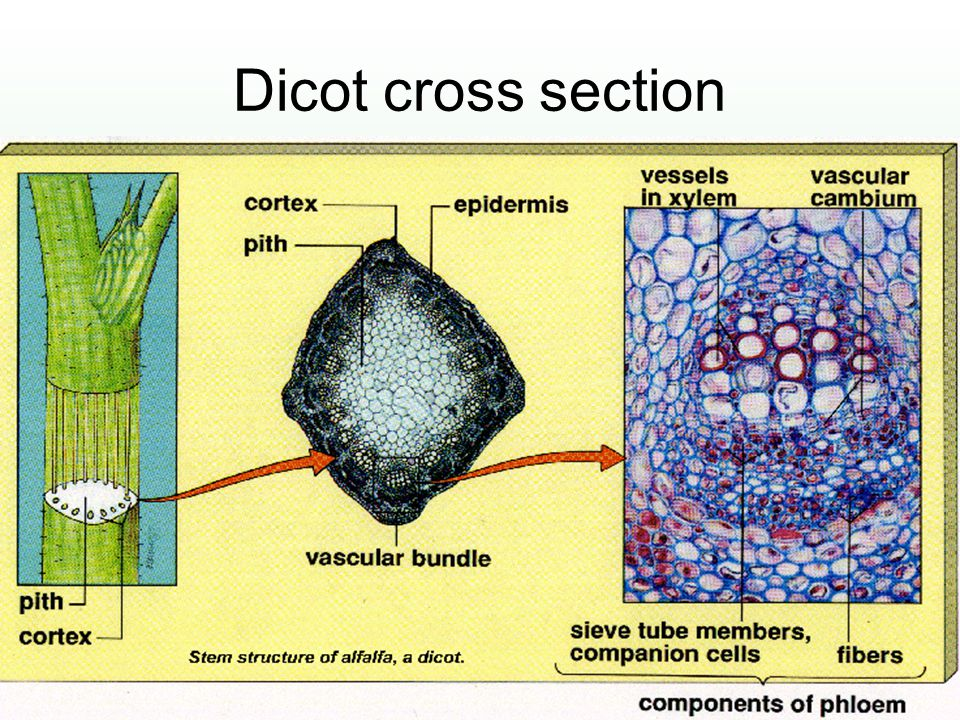 Dicot cross section