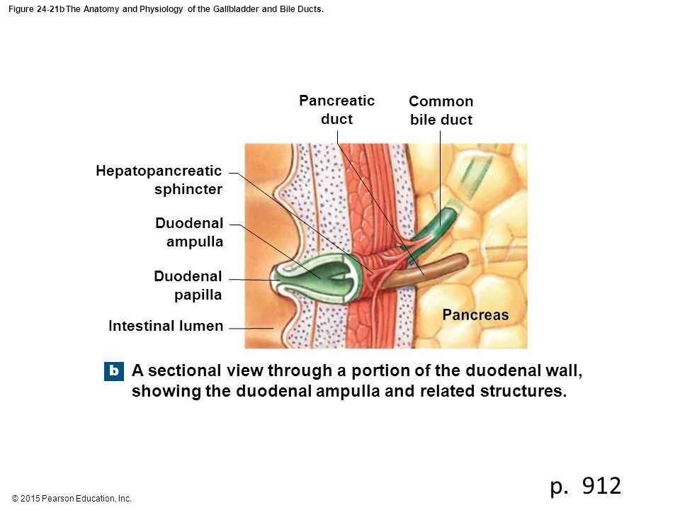 Figure 24 18a The Pancreas Common Bile Duct Pancreatic Duct Lobules