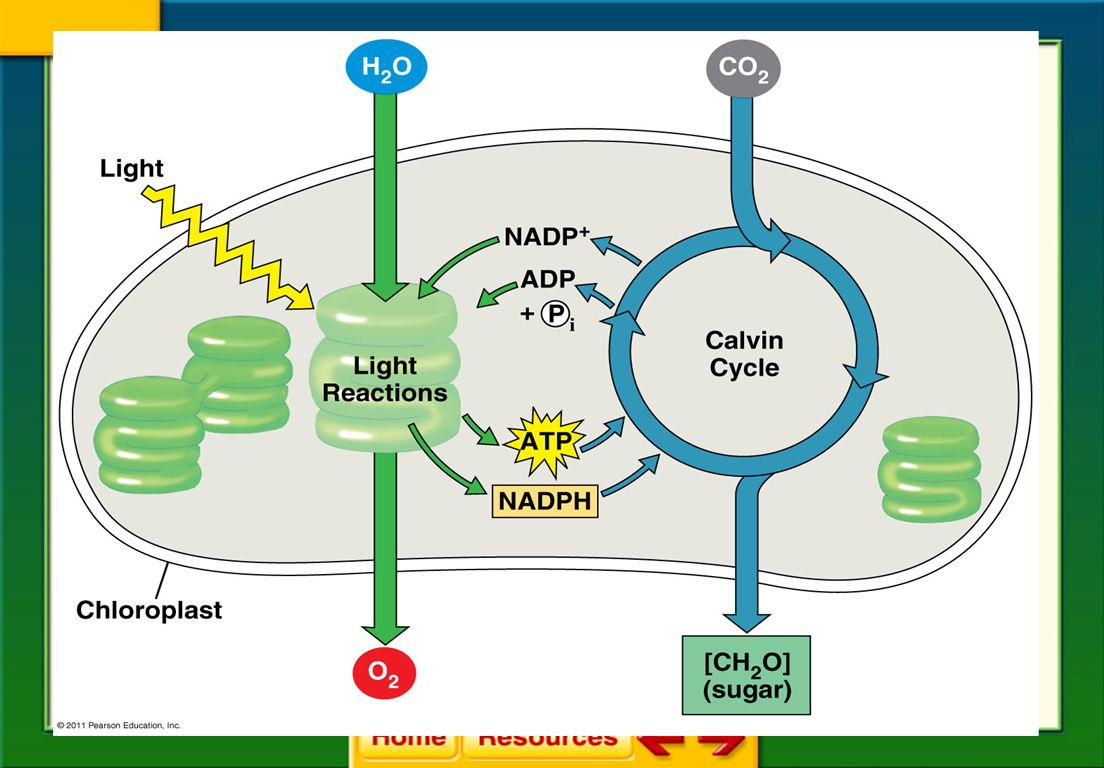 A chloroplast in cell respiration diagram trusted wiring diagram chapter 8 cellular energy ppt download rh slideplayer com chloroplast diagram unlabeled cell diagram with chloroplast ccuart Gallery