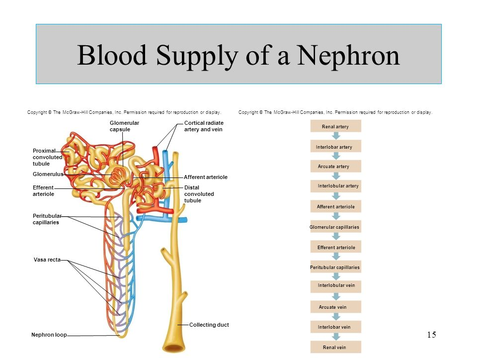 Mcgraw Hill Diagram Labeled Nephron Trusted Wiring Diagram