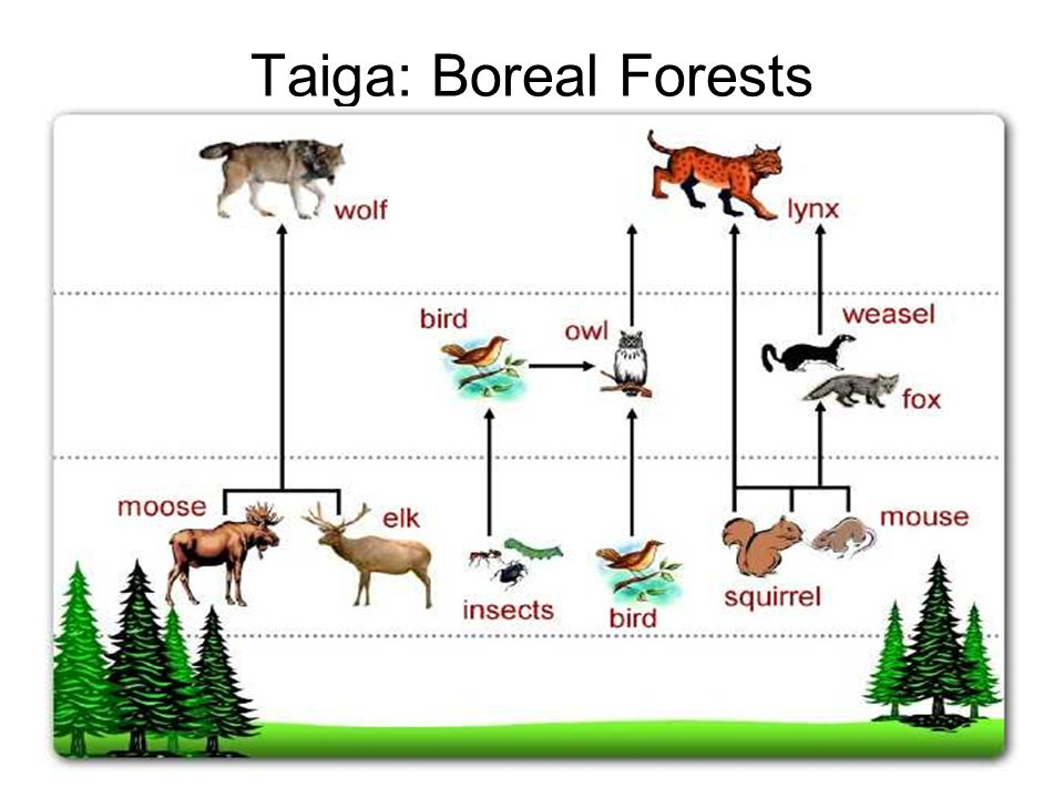 example of a food chain in the taiga biome