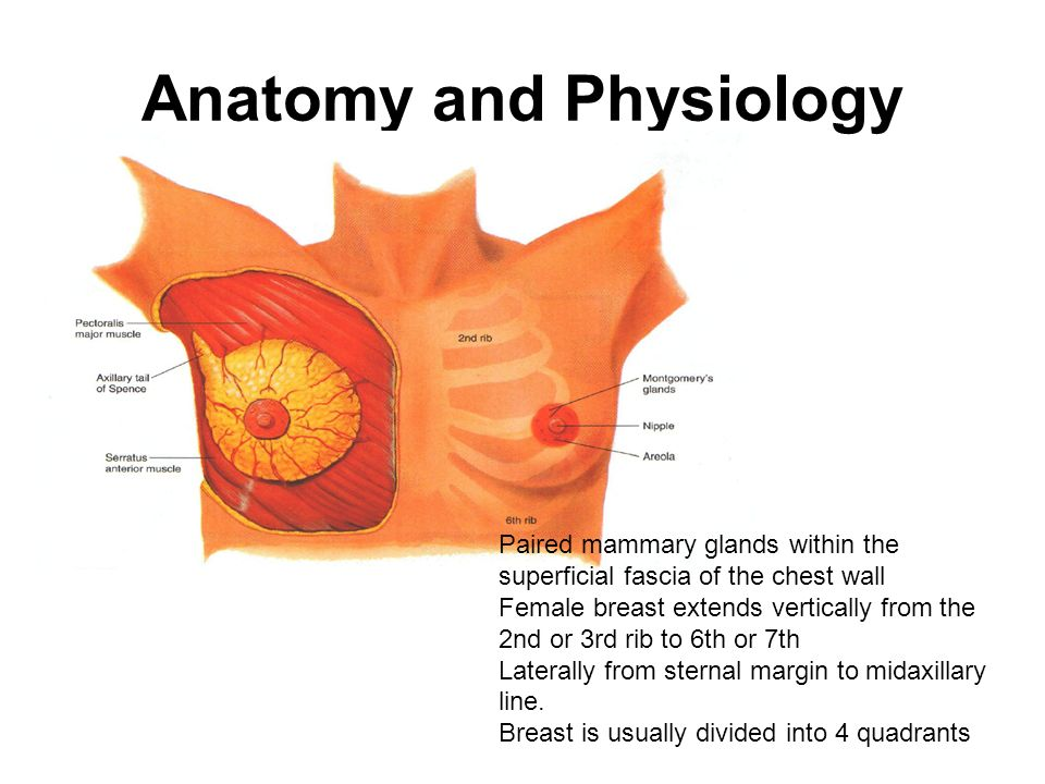 Dorable Anatomy And Physiology Of The Female Breast Bosquejo ...