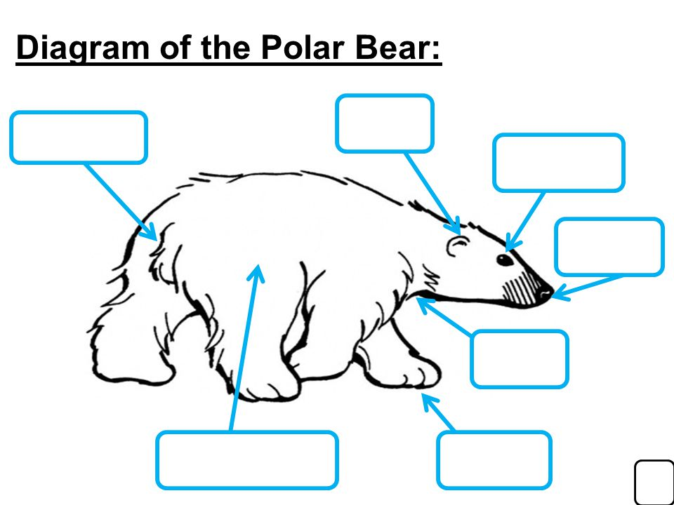 Diagram+of+the+Polar+Bear%3A researched by ppt download