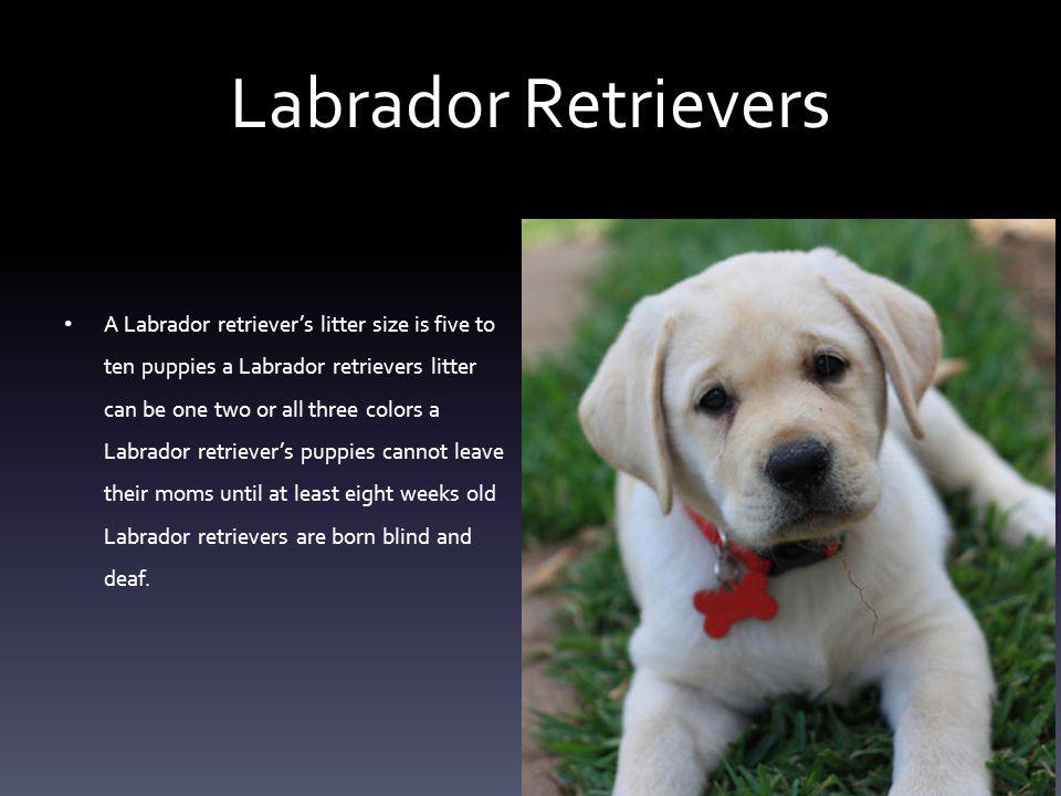 Labrador Retrievers By Jenna Weiner