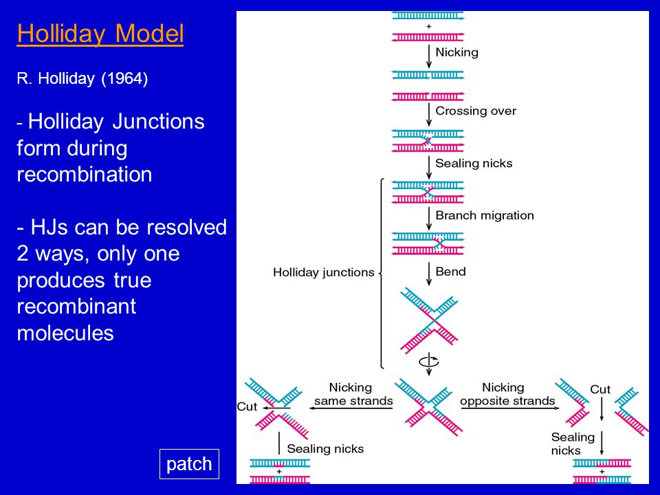 Dna recombination roles types homologous recombination in eli 7 holliday model ccuart Gallery