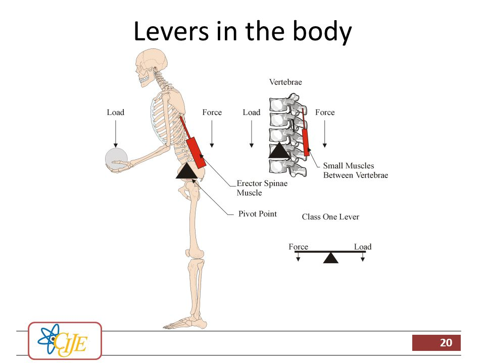 levers in the body Class 3 is the most common class of lever to be found in the human body examples in strength training davis et al (2000) provides the following examples of levers in the human body: class 1 - seated dumbbell triceps extension.