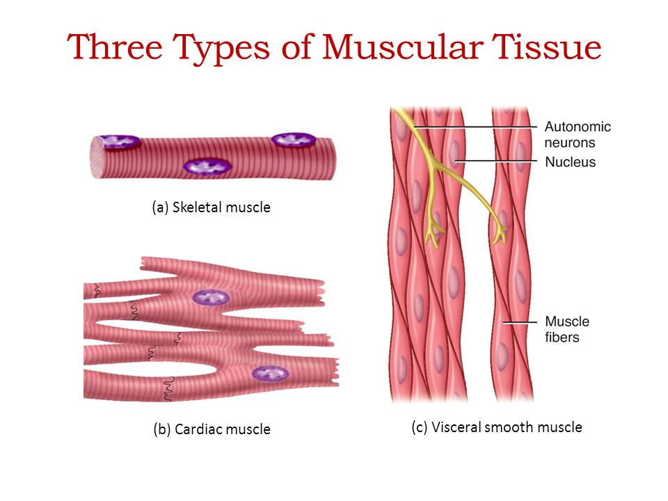 Chapter 10 Muscular Tissue Ppt Video Online Download