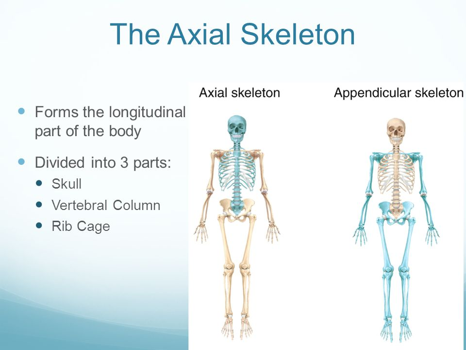 The Skeletal System Part 1: The Axial Skeleton - ppt video online ...