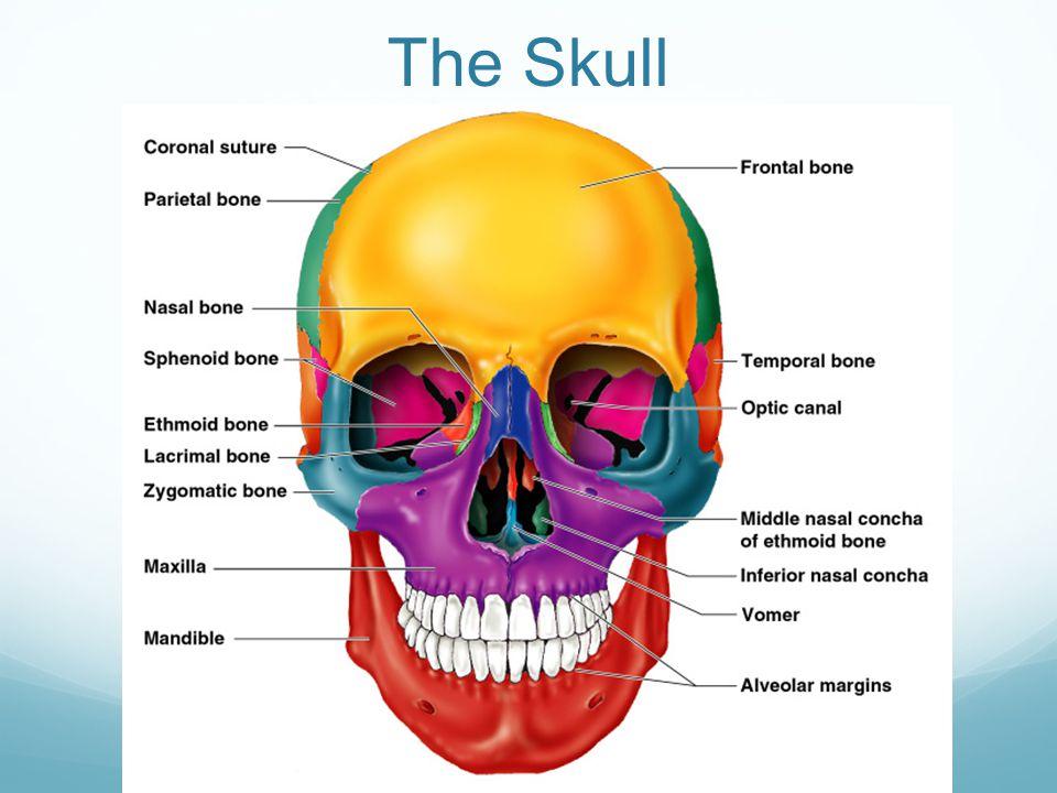 Skull Skeleton Diagram 155web Berei