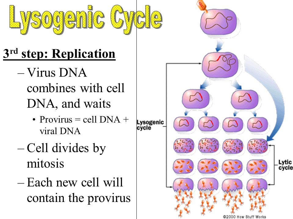 Lysogenic Cycle 3rd step: Replication