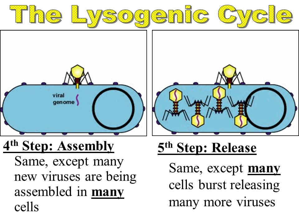 The Lysogenic Cycle 4th Step: Assembly Same, except many new viruses are being assembled in many cells.