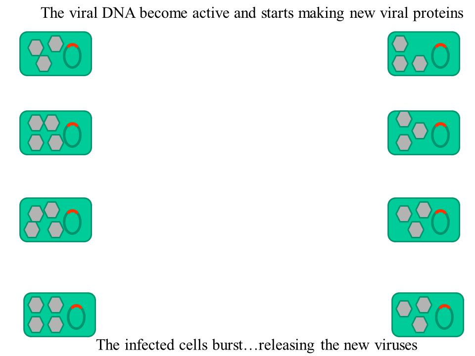 The viral DNA become active and starts making new viral proteins