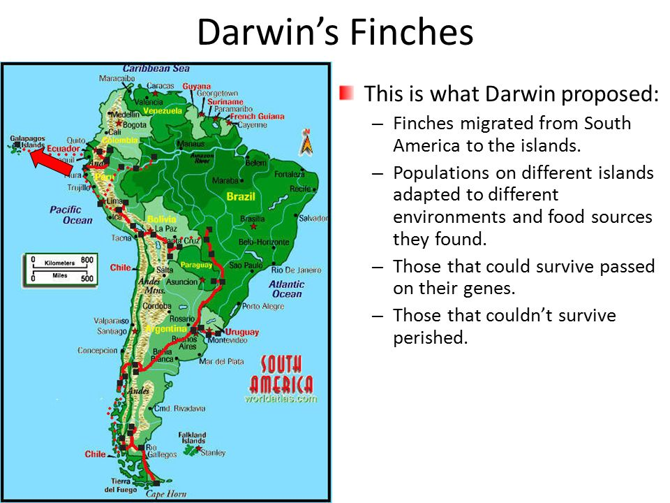 Darwin's Finches This is what Darwin proposed: