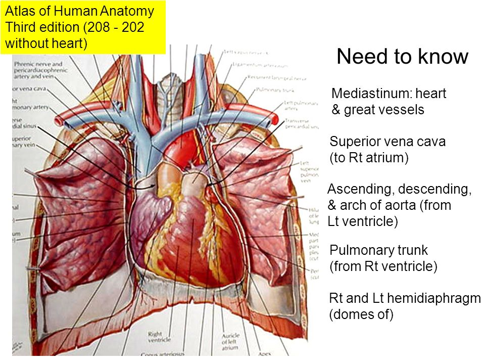 Beautiful Anatomy Great Vessels Ensign - Anatomy And Physiology ...