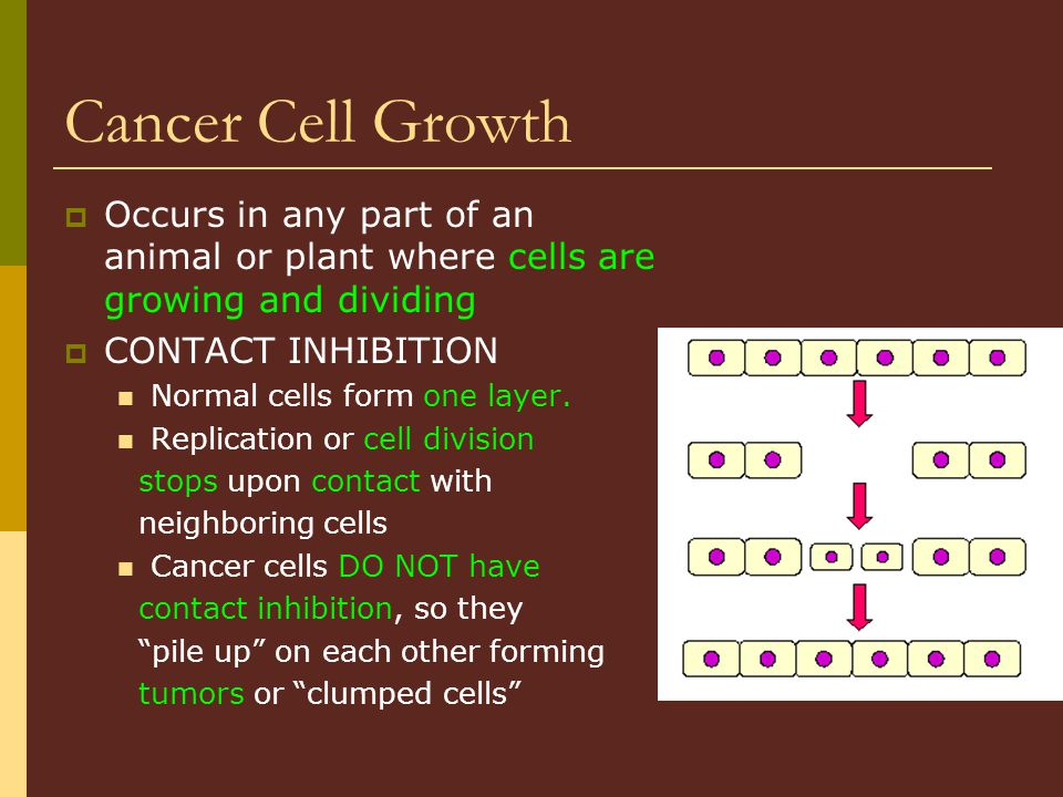 Cancer Cell Growth Occurs in any part of an animal or plant where cells are growing and dividing. CONTACT INHIBITION.