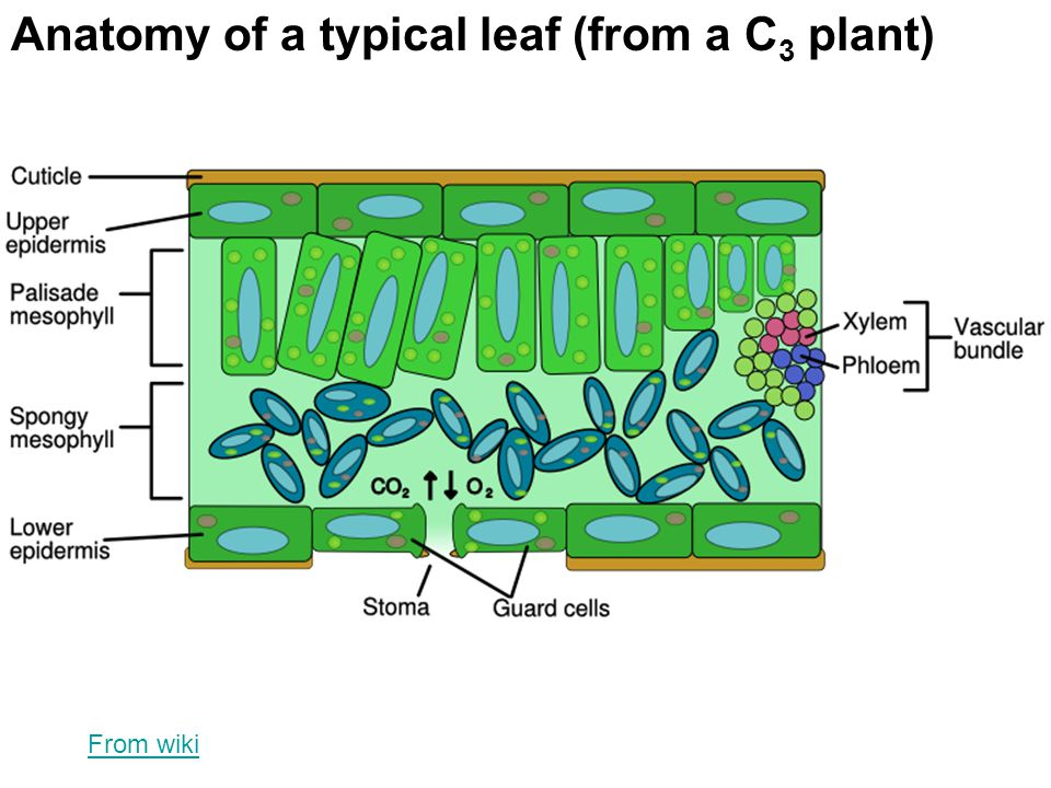 Phun with Photosynthesis - ppt video online download