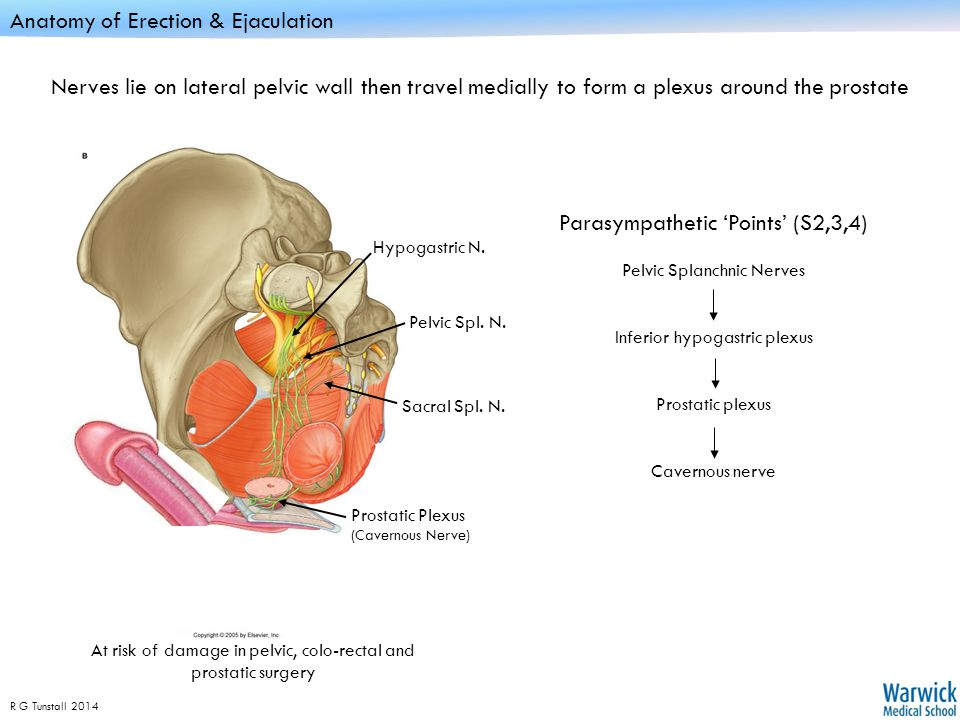 Male reproductive anatomy - ppt video online download