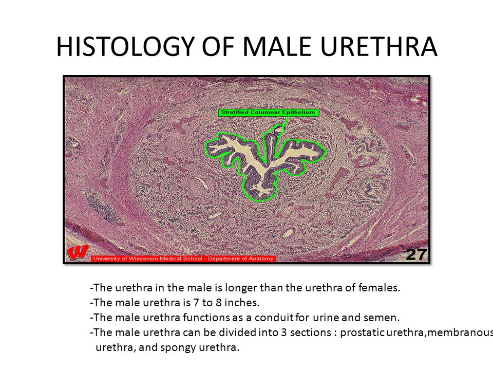 URETER & URETHRA ANATOMY, HISTOLOGY, PHYSIOLOGY - ppt video online ...