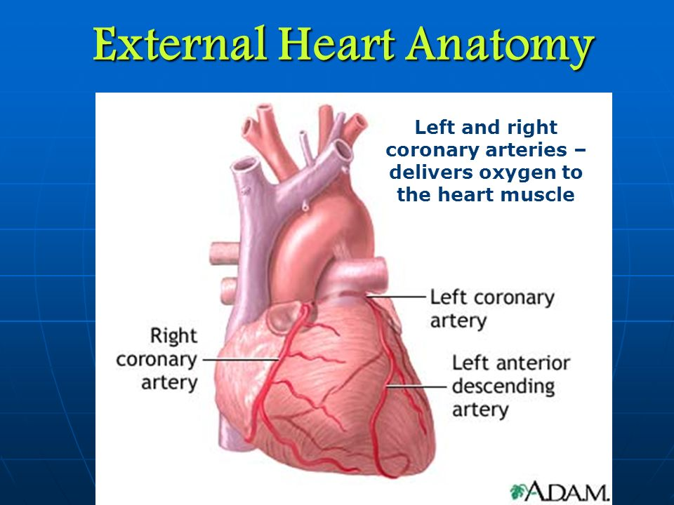 Heart Anatomy Coronary Arteries Choice Image - human body anatomy