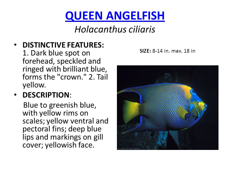 Caribbean And Florida Reef Fish Ppt Video Online Download
