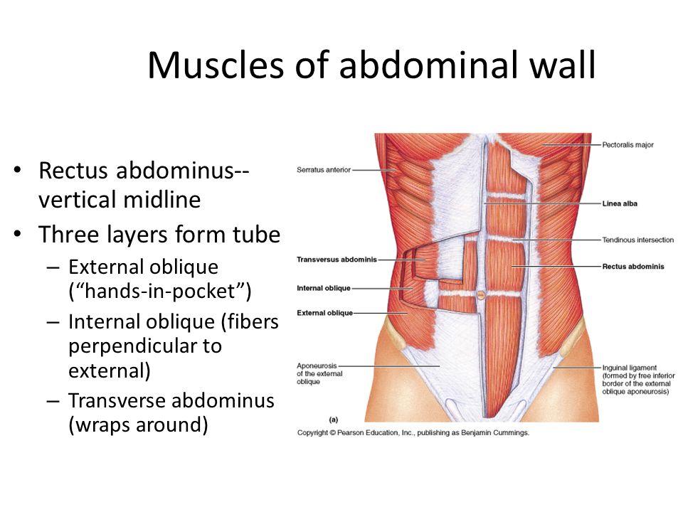Abdomen Ppt Video Online Download