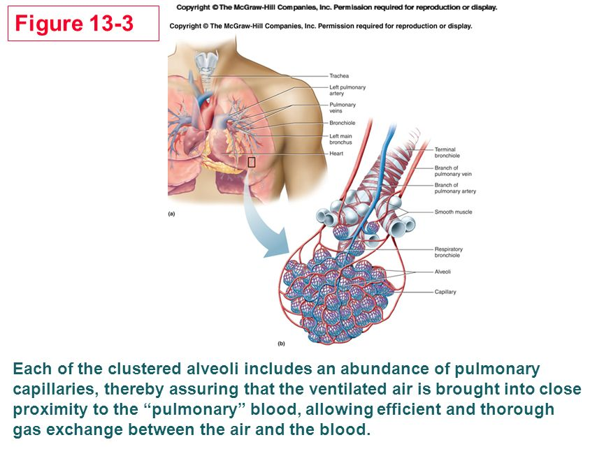 Human Physiology Chapter 13 The Mechanisms Of Body Function Ppt