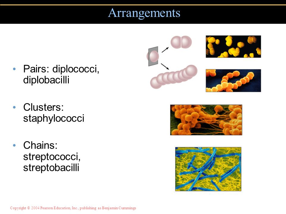 Arrangements Pairs: diplococci, diplobacilli Clusters: staphylococci
