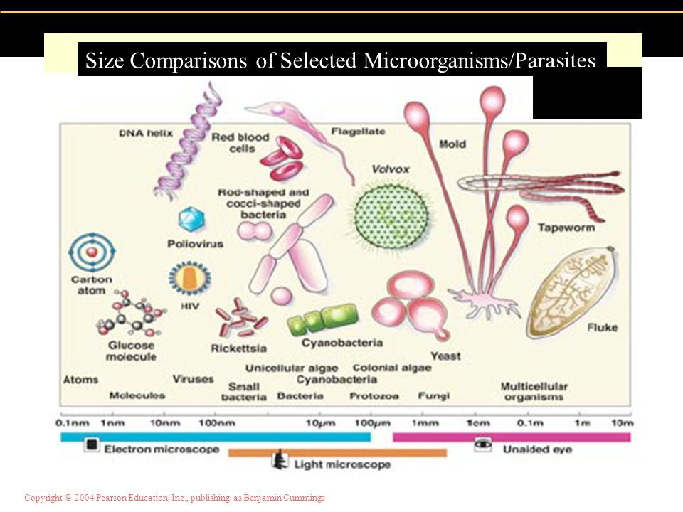 Size Comparisons of Selected Microorganisms/Parasites