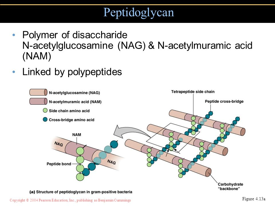 Peptidoglycan Polymer of disaccharide N-acetylglucosamine (NAG) & N-acetylmuramic acid (NAM) Linked by polypeptides.