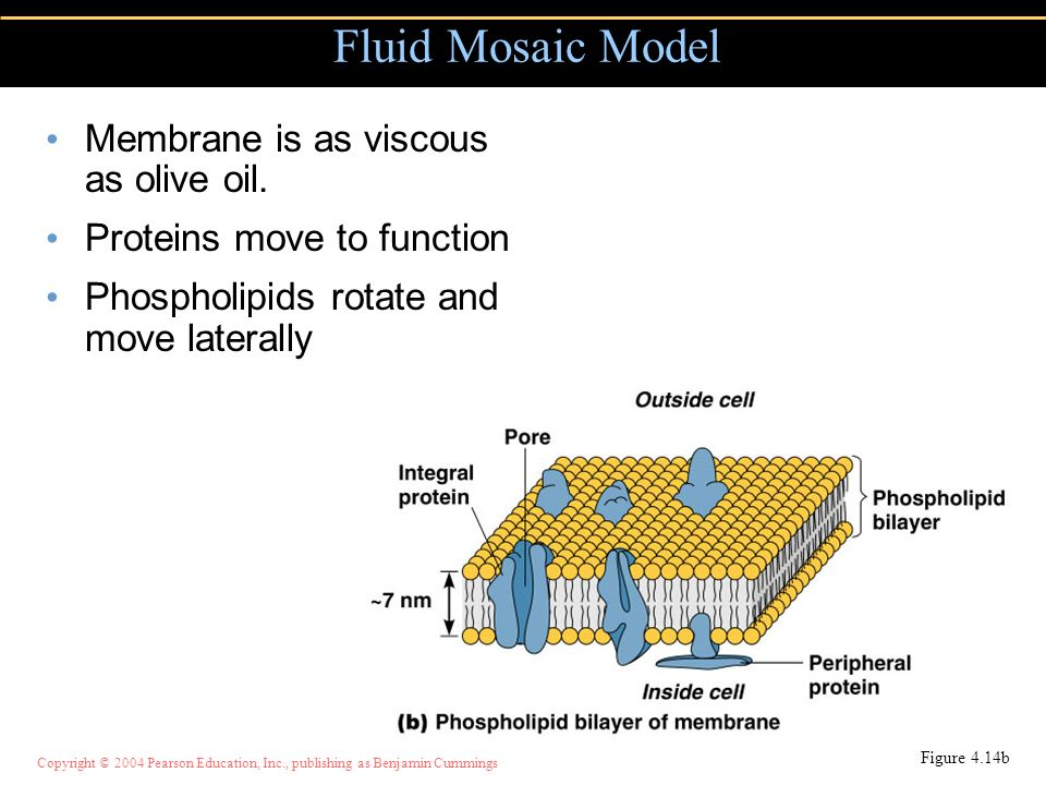 Fluid Mosaic Model Membrane is as viscous as olive oil.