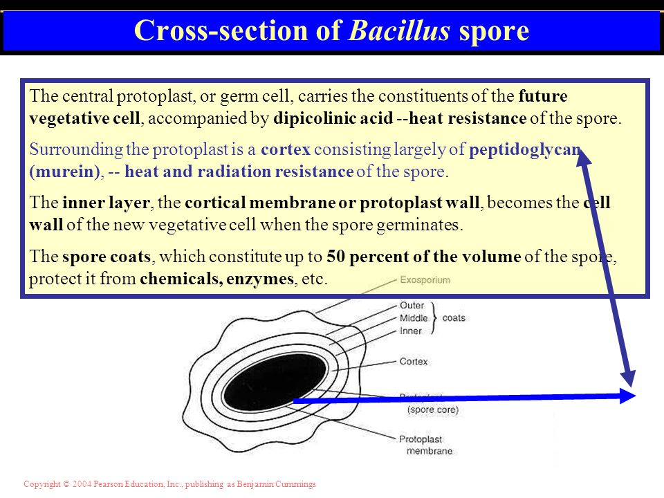 Cross-section of Bacillus spore