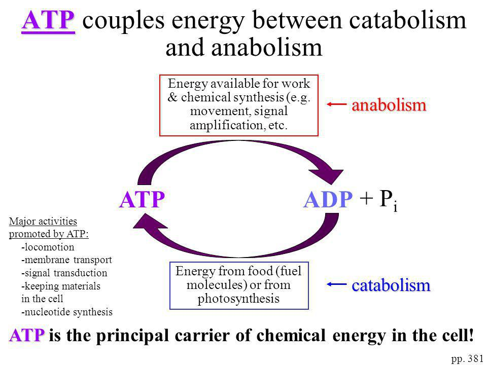 ATP couples energy between catabolism and anabolism